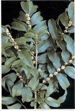 Casearia sylvestris
