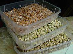 sementes germinadas Antonio Lino